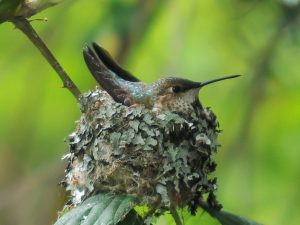 "Nesting Female Rufous Hummingbird"" by Brendan Lally is licensed under CC BY 2.0 300x225 - Equinox: Here & Now"