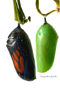 2 Monarch butterfly chrysalis