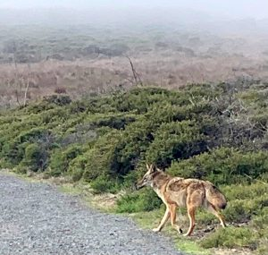 Coyote leads the way, Jacqueline Lasahn, Intuitive Astrologer
