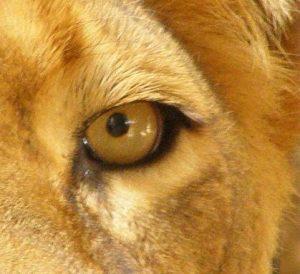 Leo Lion Lion's Eye