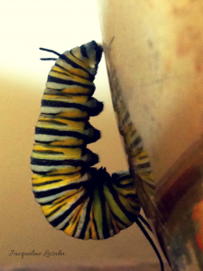 Monarch Caterpillar in classic J shape.