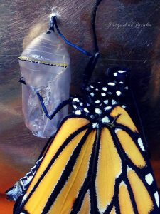 Monarch butterfly emerges. 1 225x300 - Mysterious Blessing: the Butterfly on my Altar