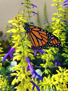 Monarch butterfly on salvia