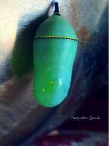 Monarch butterfly  fresh green gem of a chrysalis. 1 225x300 - Mysterious Blessing: the Butterfly on my Altar