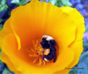 Bumblebee grasping California Poppy.  photo by Jacqueline Lasahn
