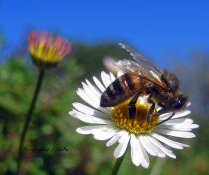 Honeybee on daisy nectar.  photo by Jacqueline Lasahn