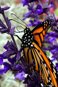 Monarch butterfly sipping nectar. photo by Jacqueline Lasahn